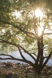 Árvore da luz do sol Imagens de Stock