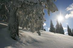 Árvore da luz do sol e de pinho Foto de Stock Royalty Free