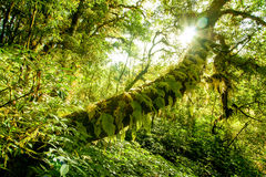 árvore da luz solar na floresta Imagens de Stock