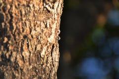 Árvore da mástique Foto de Stock Royalty Free