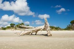 Árvore da madeira lançada à costa em Shell Island foto de stock royalty free