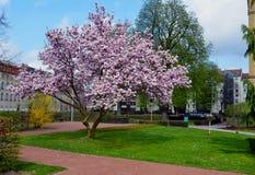 Árvore da magnólia Fotografia de Stock Royalty Free