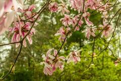 Árvore da magnólia fotos de stock royalty free