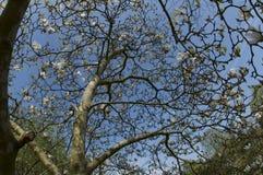 Árvore da magnólia imagens de stock