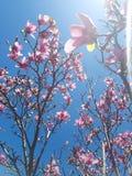Árvore da magnólia no sol Imagens de Stock Royalty Free