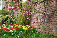 Árvore da magnólia que cresce perto da parede de pedra acima do canteiro de flores no jardim da cidade Imagens de Stock