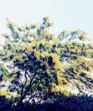 Árvore da mimosa Foto de Stock Royalty Free