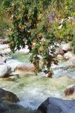 árvore da Montanha-cinza sobre a angra Fotos de Stock Royalty Free