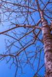 Árvore da morte no céu azul imagens de stock royalty free