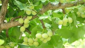 Árvore da nogueira-do-Japão com porcas de nogueira-do-Japão video estoque