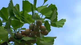 Árvore da nogueira-do-Japão com porcas de nogueira-do-Japão vídeos de arquivo