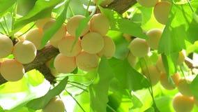 Árvore da nogueira-do-Japão com porcas de nogueira-do-Japão filme