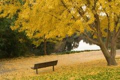 Árvore da nogueira-do-Japão na queda Imagem de Stock