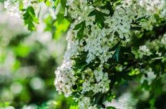 árvore da Pássaro-cereja Imagem de Stock Royalty Free