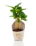 Árvore da planta do café Imagem de Stock Royalty Free