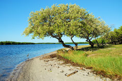 Árvore da praia Imagem de Stock