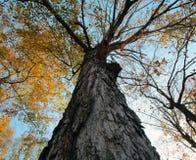 Árvore da queda Fotografia de Stock Royalty Free