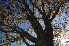 Árvore da queda imagens de stock