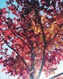 Árvore da queda em Chicago na conserva de natureza Fotografia de Stock