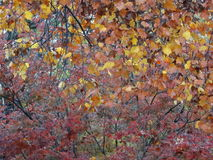 A árvore da queda sae de cores do inverno da folha Foto de Stock