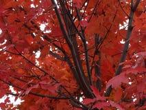 A árvore da queda sae de cores do inverno da folha Foto de Stock Royalty Free