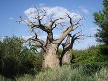 Árvore da raiz Fotografia de Stock