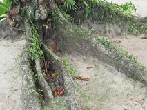 Árvore da raiz na praia fotografia de stock