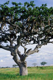 Árvore da salsicha Fotos de Stock Royalty Free