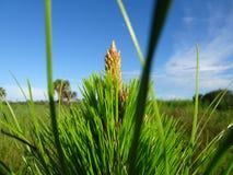 árvore da samambaia e céus azuis na área natural das clareiras do pinho em Florida fotos de stock royalty free