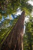 Árvore da sequoia vermelha foto de stock royalty free