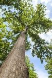 Árvore da teca fotos de stock royalty free