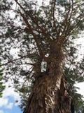 Árvore da textura Imagens de Stock Royalty Free