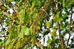 Árvore da uva da praia Foto de Stock Royalty Free