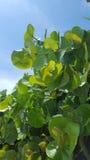 Árvore da uva do mar no usvi de StThomas Fotografia de Stock