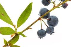 Árvore da uva-do-monte Imagens de Stock Royalty Free