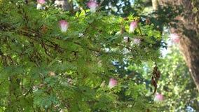 Árvore da vagem de macaco no jardim vídeos de arquivo
