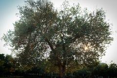 Árvore dada forma coração com folhas verdes em um parque com o sol que brilha atrás dele imagens de stock royalty free
