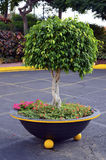 Árvore dada forma redonda do ficus no parque Fotos de Stock Royalty Free