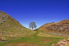 Árvore das capas do pisco de peito vermelho Fotografia de Stock Royalty Free