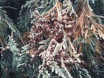 árvore das coníferas com colisões e neve foto de stock