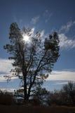 Árvore das coníferas contra o sol com nuvens Foto de Stock