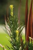 Árvore das coníferas da mola que cresce tiros novos no sol foto de stock