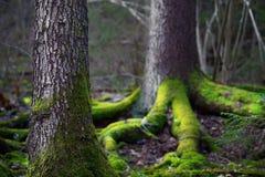 Árvore das coníferas na área de região selvagem Fotos de Stock