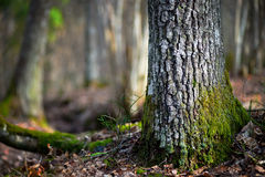 Árvore das coníferas na região selvagem Fotos de Stock Royalty Free