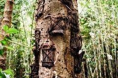 Árvore das sepulturas do bebê de Kambira Local de enterros torajan tradicional, cemitério em Rantepao, Tana Toraja, Sulawesi, Ind foto de stock royalty free