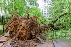 Árvore de álamo caída gigantesca ruída e quebras no asfalto em consequência do furacão severo em um dos pátios de Moscou Fotografia de Stock Royalty Free