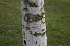A árvore de álamo entalhada é casca arruinada fotografia de stock
