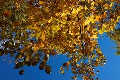 A ?rvore de ?ustria da paisagem do outono sae do fundo do c?u imagens de stock royalty free