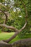 Árvore de abacate Fotos de Stock