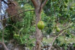 Árvore de abacate Imagens de Stock